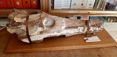témoignages métiers crâne de Dyrosauridé